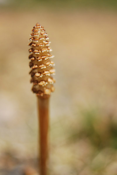 an old horsetail